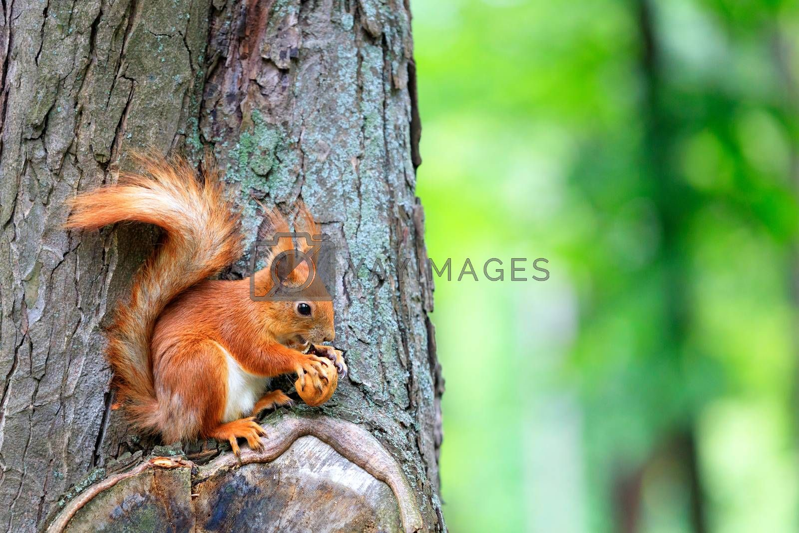 An orange fluffy squirrel sits on a tree and happily nibbles a nut, copy space.