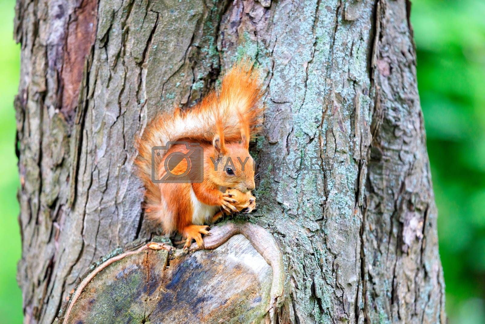 An orange fluffy squirrel sits on a tree in the forest and aggressively nibbles a nut, copy space.