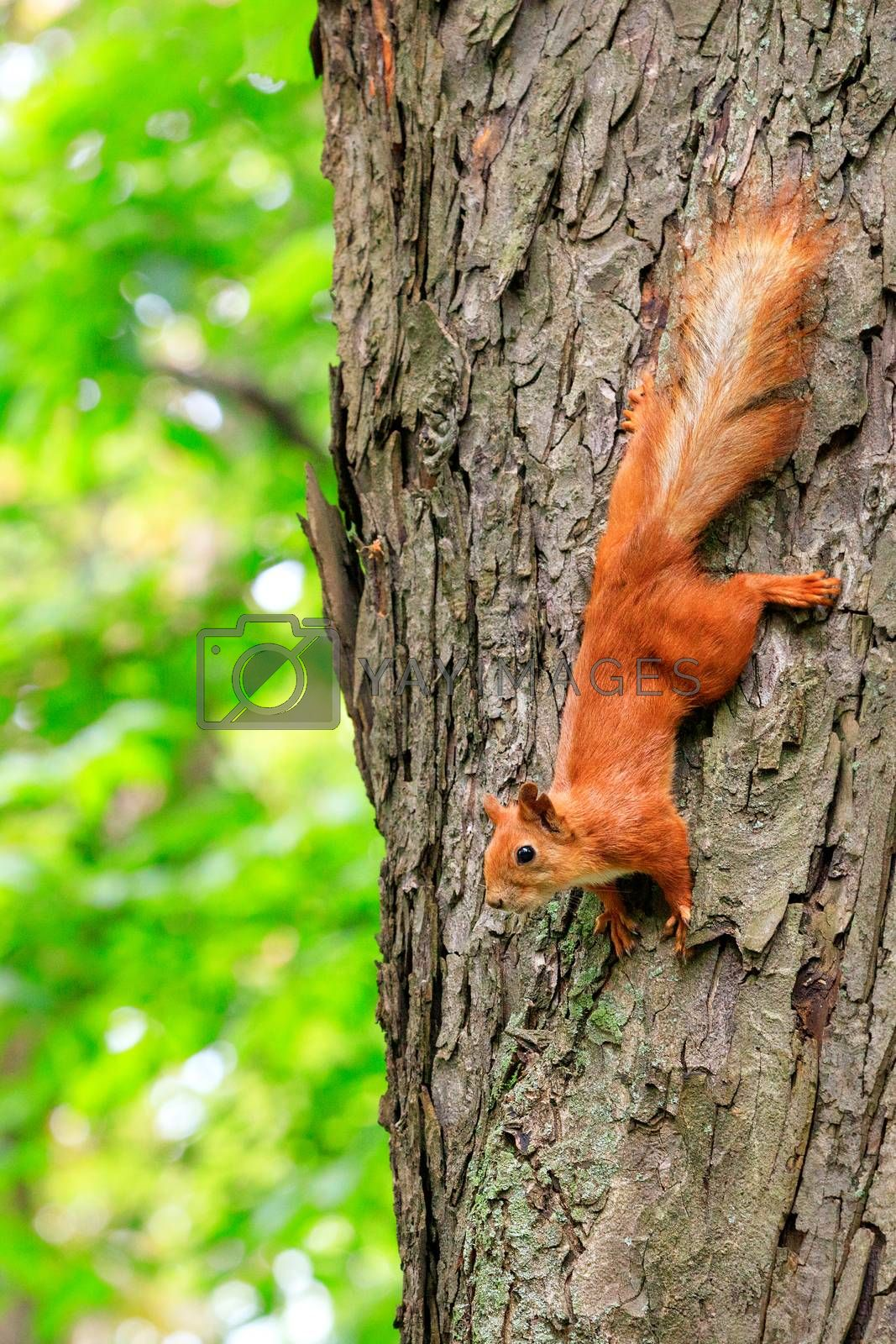 The orange fluffy squirrel carefully runs down head the tree trunk in the forest, clinging with sharp claws on its paws and listening to the surroundings, copying space.