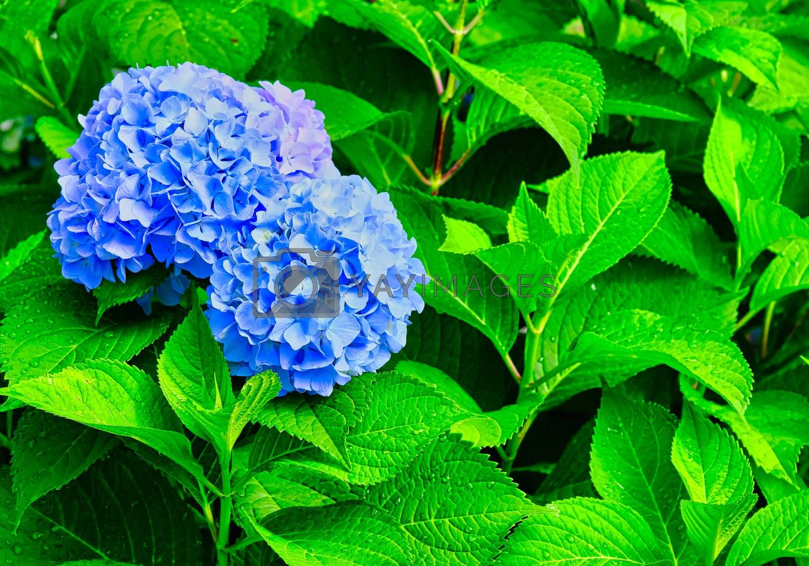Blue Hydrangea Blooms on Wet Green Leaves After a Summer Rain