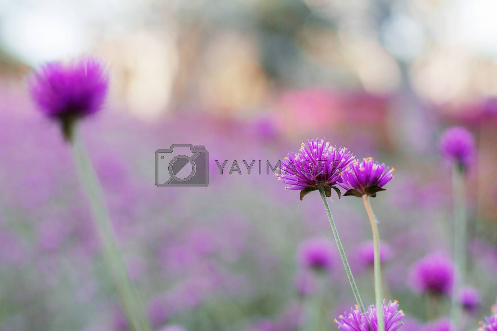Pink thistle flower on blurred natural background.