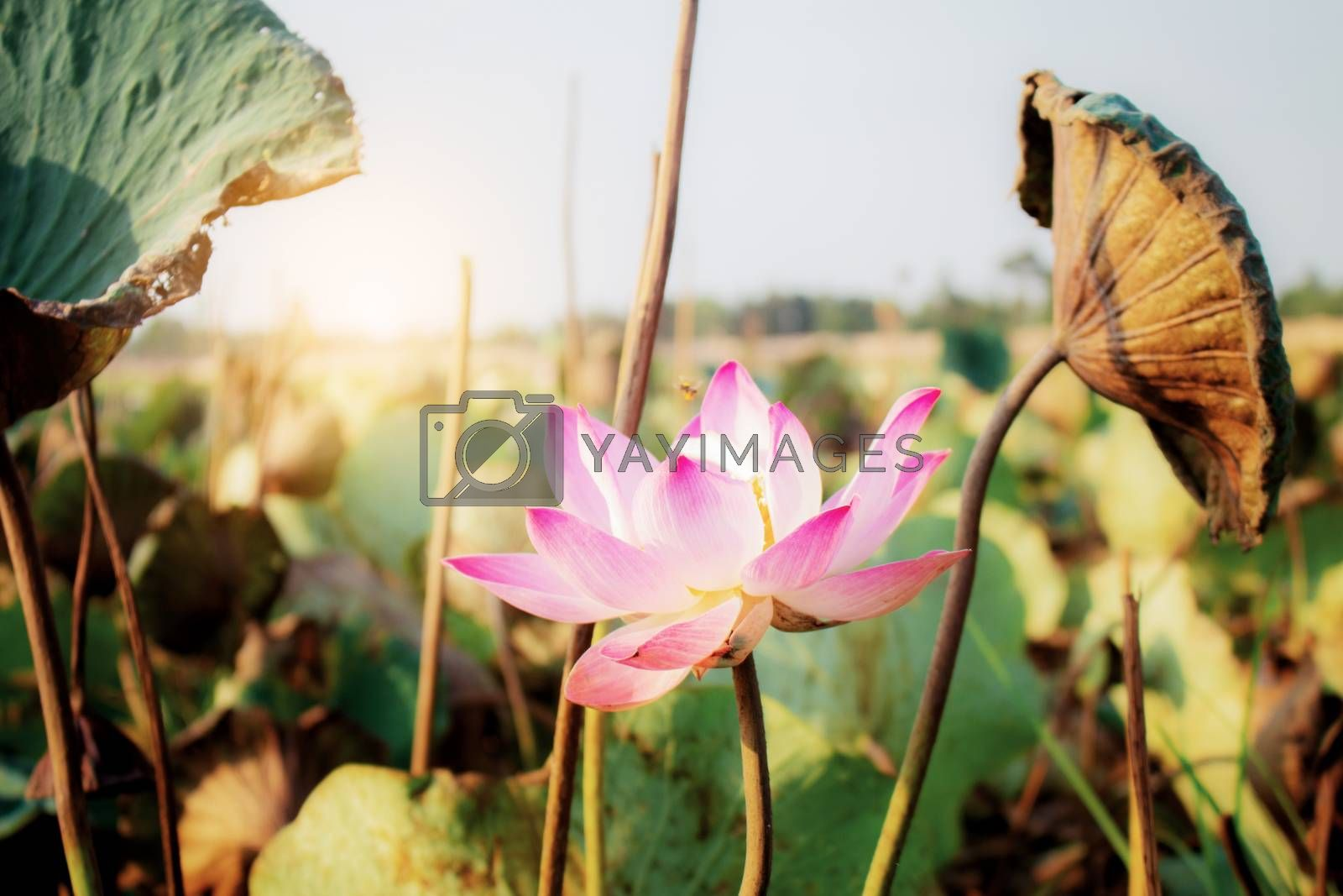 Lotus with sunlight in the summer.