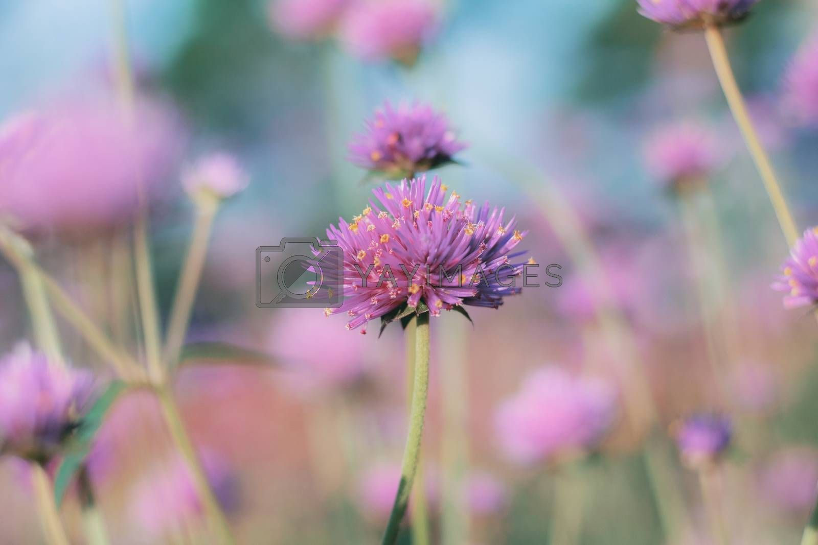 Pink thistle flower on natural in the winter background.