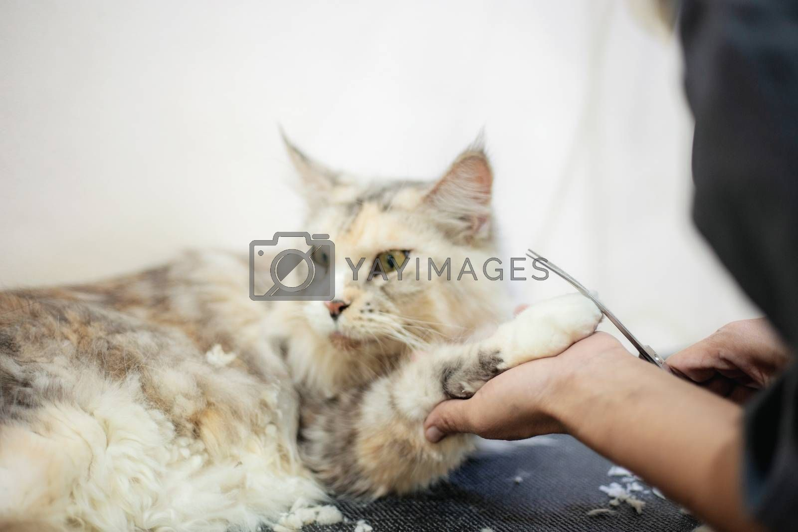 Woman are cutting hair and holding of foot and cleaning a cat.