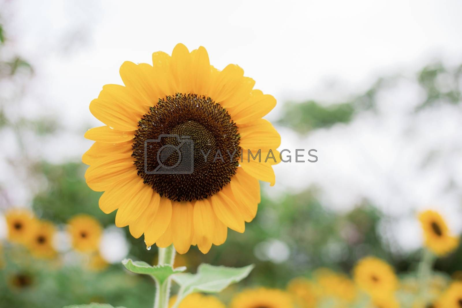 Sunflower in garden at the sky.