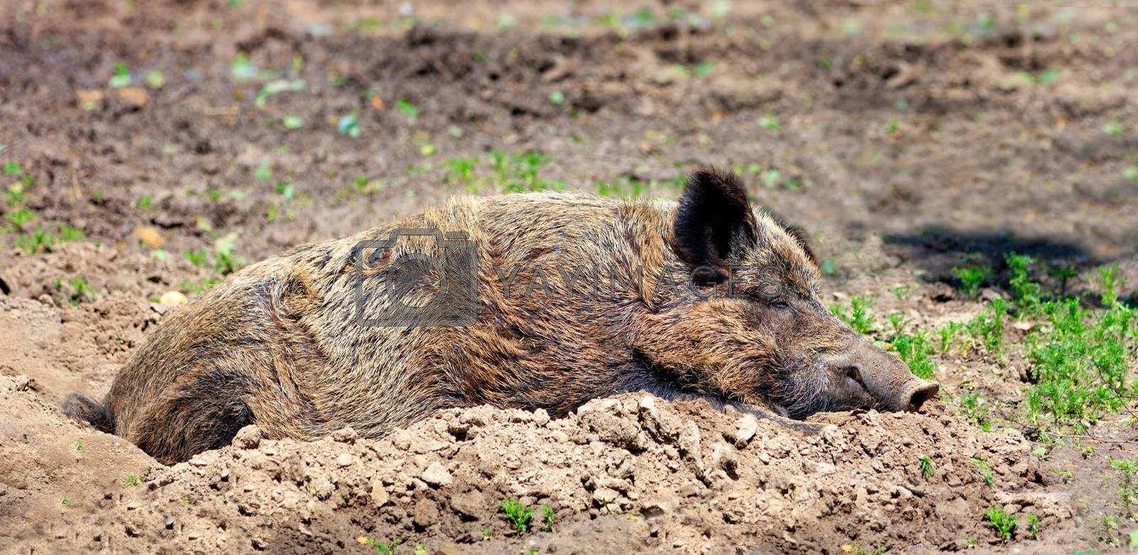 A large Eurasian boar sleeps peacefully and rests in the mud and takes warm sun baths.