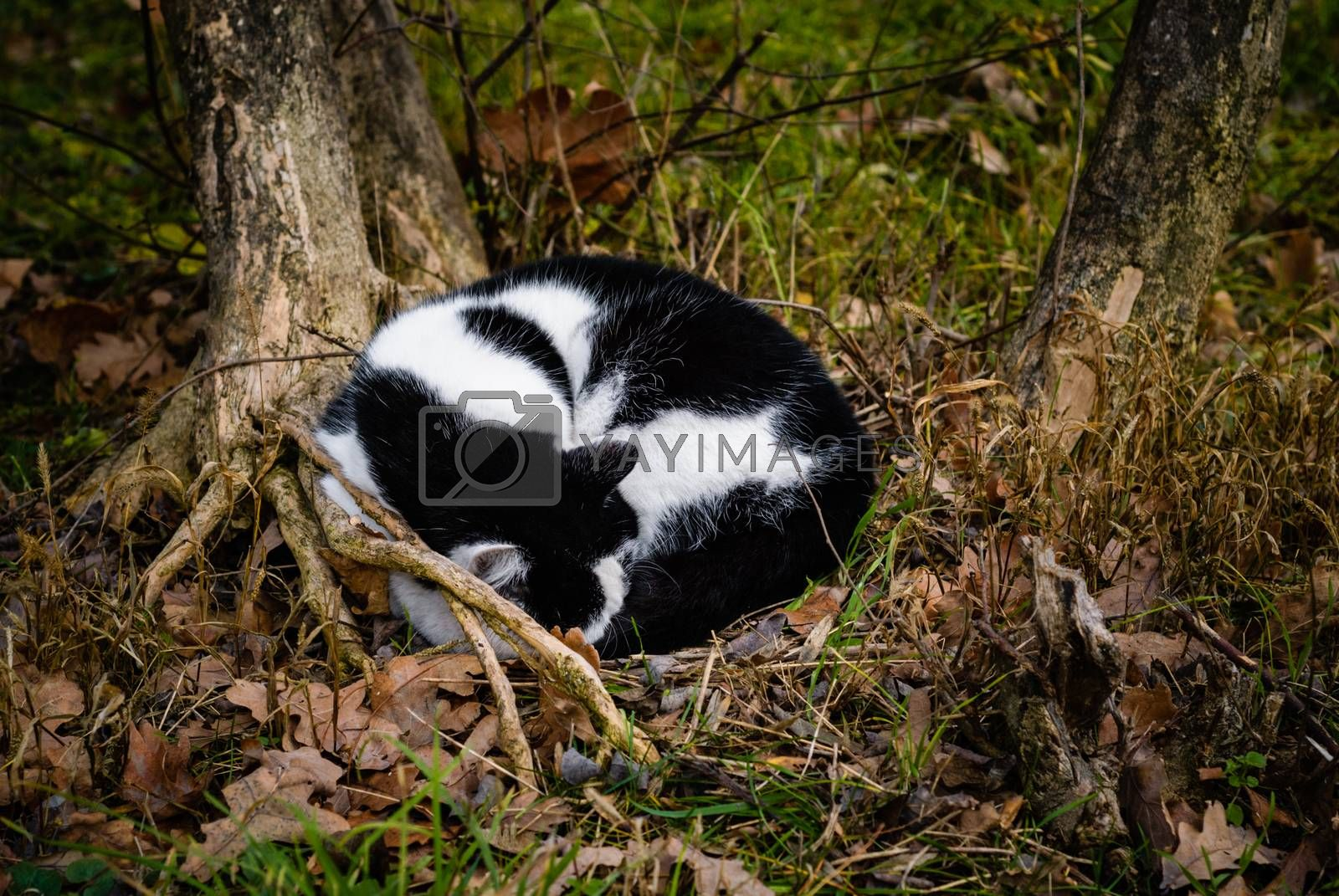 Cat sleeps under a tree in a forest curled up in a ball. Autumn.