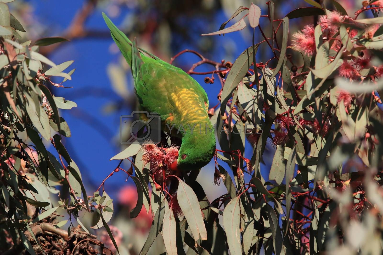 scaly-breasted lorikeet looking for forage queensland