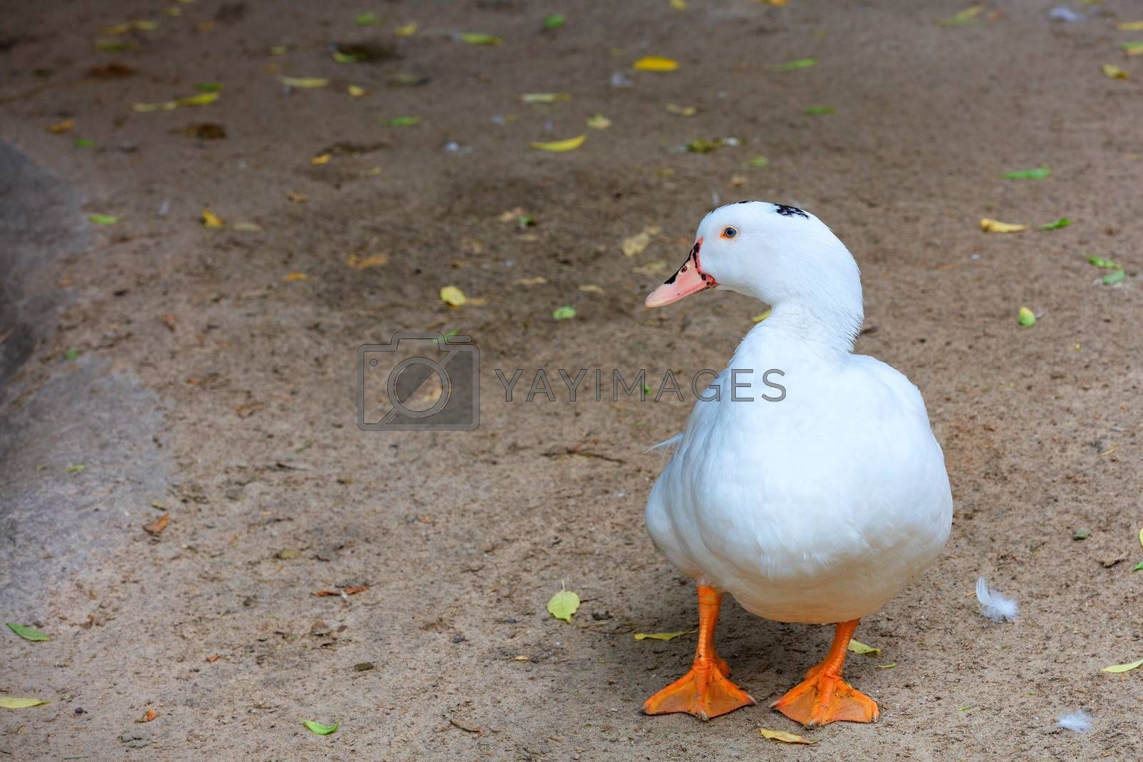 A white duck with bright orange paws walks along the sandy ground and looks to the left, copy space.