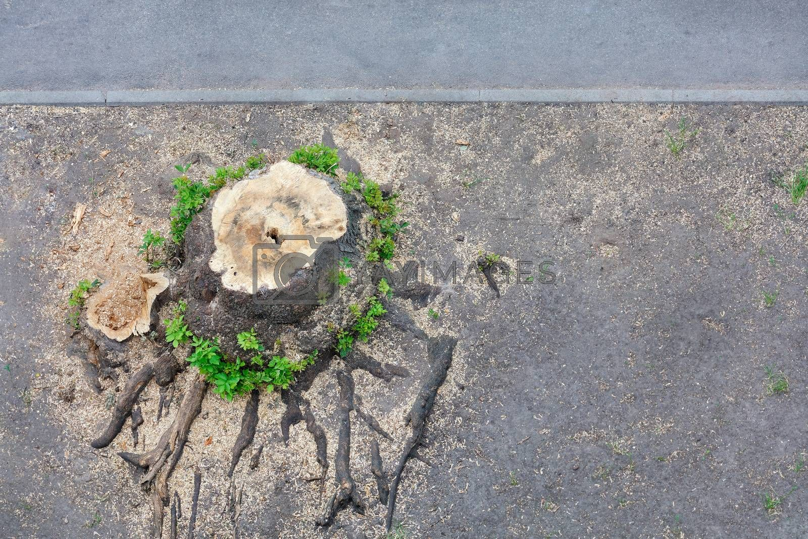 Large rotten stump near the sidewalk, texture of the roots and fibers of an old stump around which young shoots grow, copy space, nature concept, view from above.