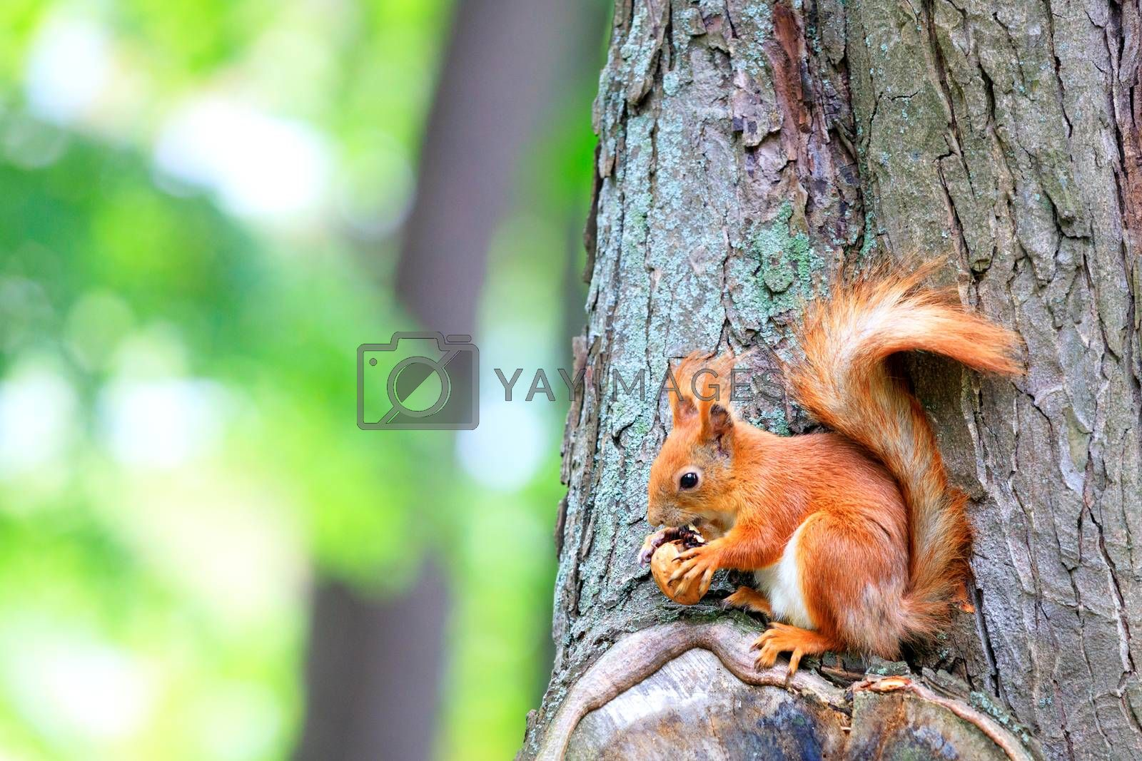 An orange fluffy squirrel sits on a tree and gnaws a nut found, copy space, close-up.