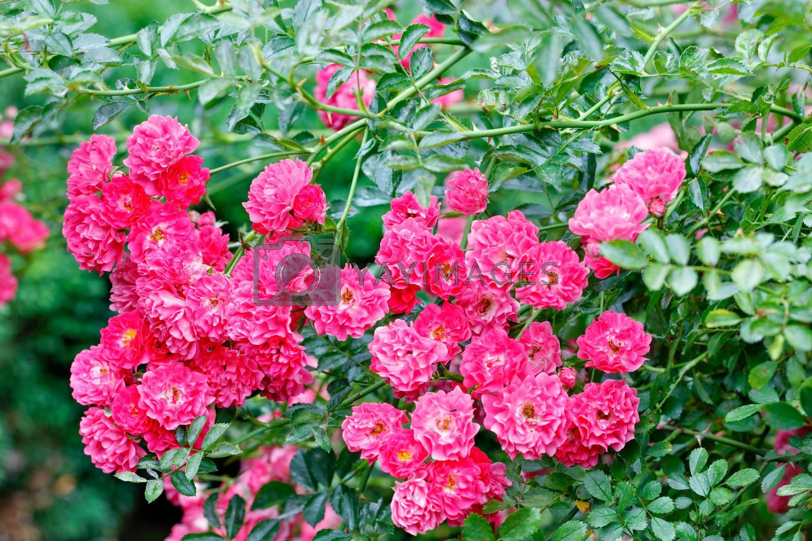 Pink-red flowers of a curly rose in the rays of soft sunlight adorn the green garden on a summer day and delight your eyes. Close-up, copy space.