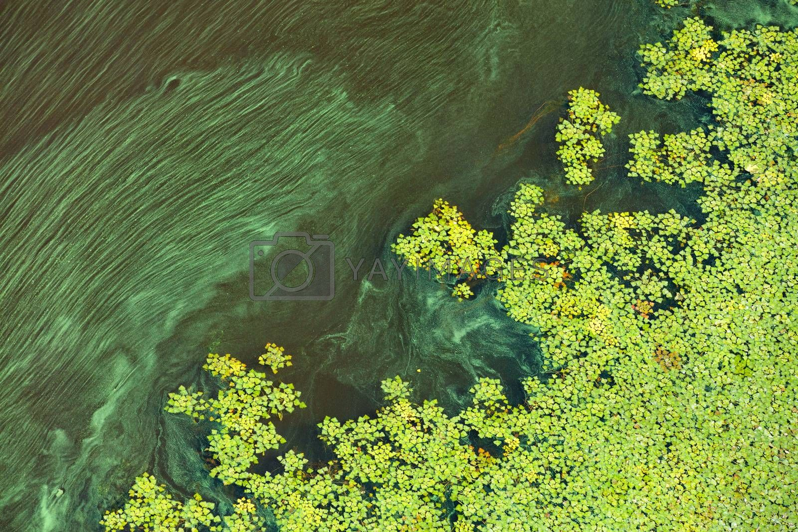 Green algae and plankton gradually cover the surface of the blooming water, the concept of pollution of the water surface of the earth, copy space.