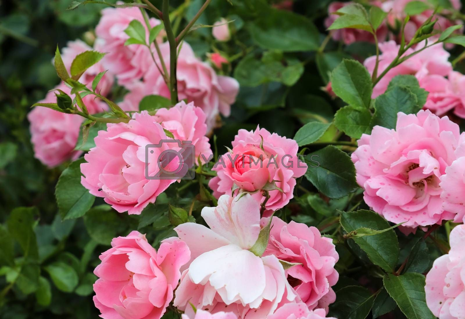 Pink and colorful rose flowers in a roses garden with a soft focus background.