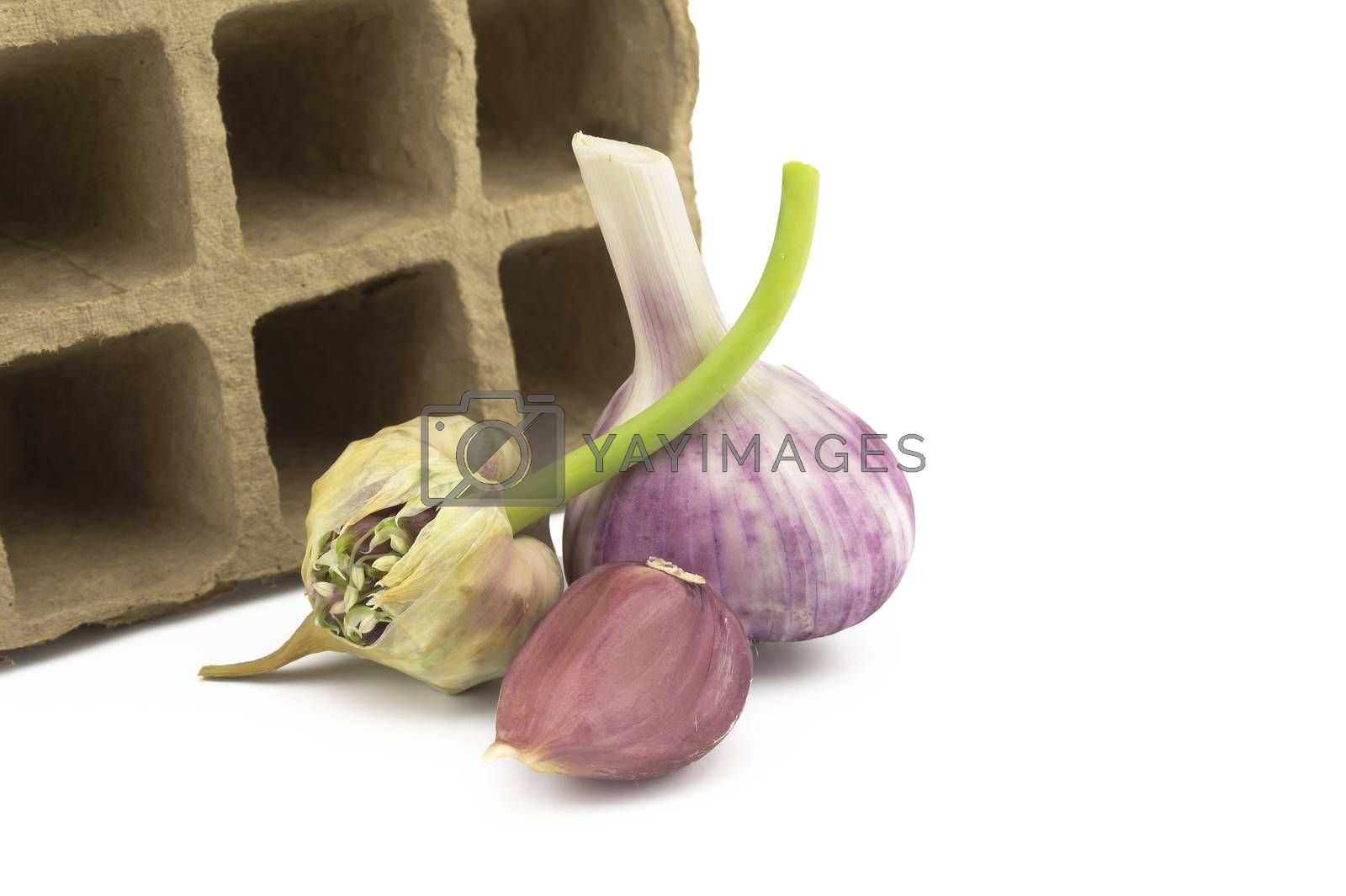 Garlic bulbs, cloves and seed head near cardboard seed tray over white with copy space in a concept of planting, growing, and harvesting garlic