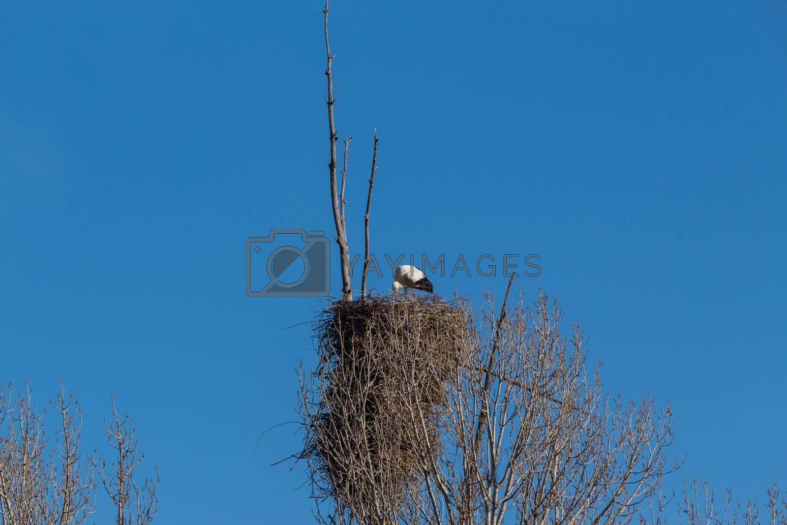 Adult of White stork, Ciconia ciconia, on the nest. In Avila, Spain
