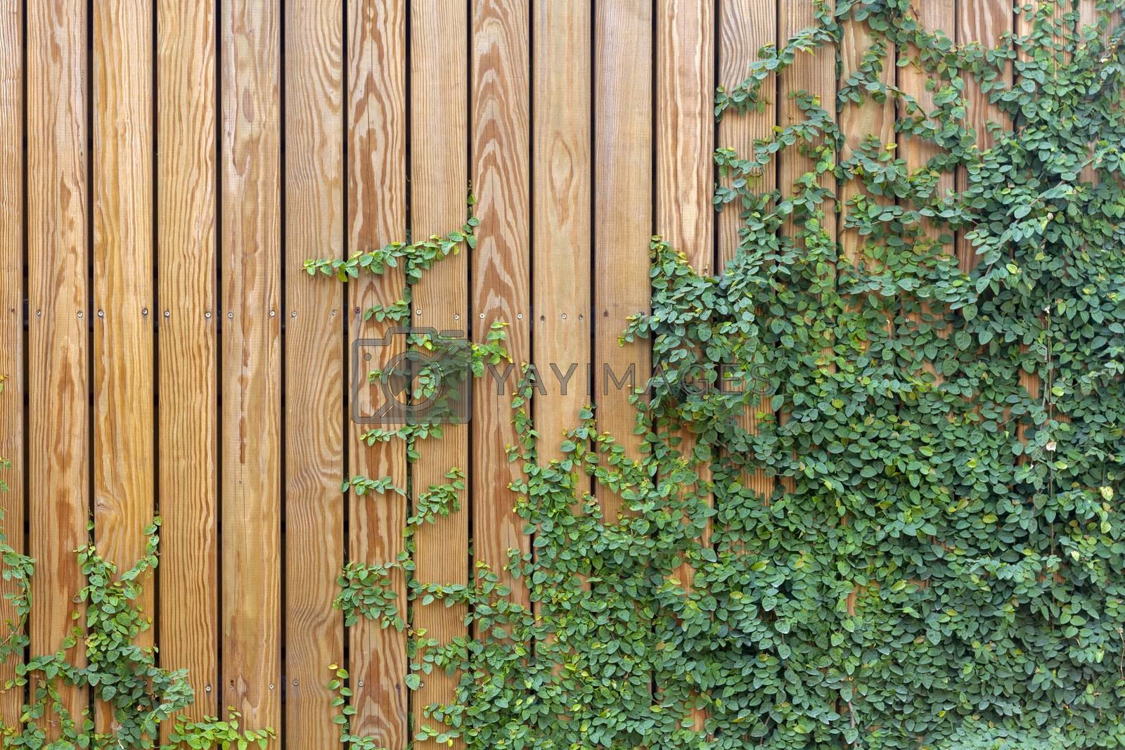 Green leaf ivy on wood board wall