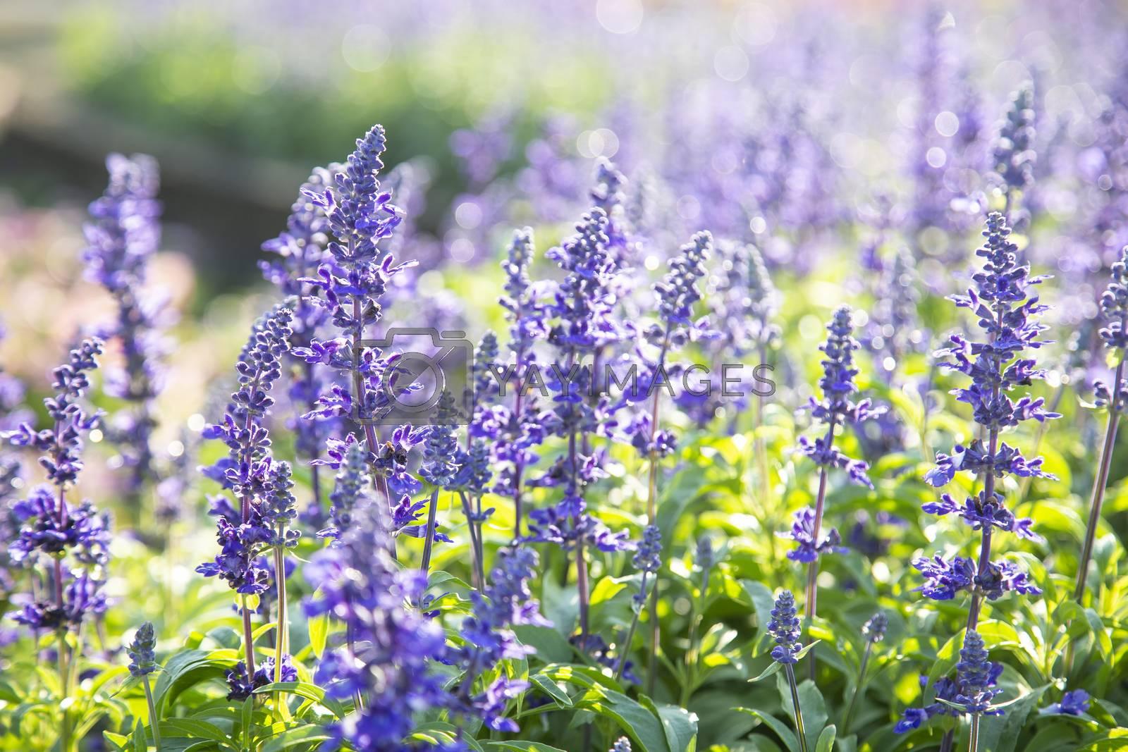 Closeup purple flowers (salvia officinalis) in the garden