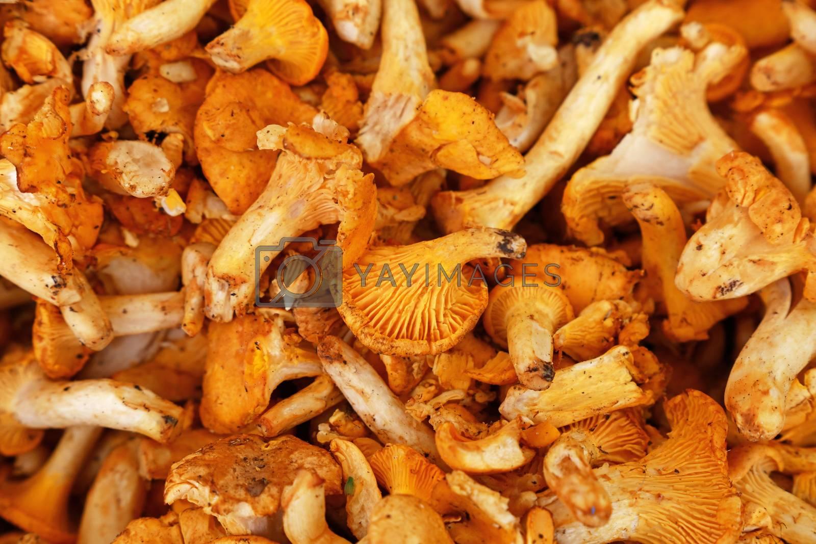Close up yellow chanterelle edible mushrooms (Cantharellus cibarius) at retail display, high angle view