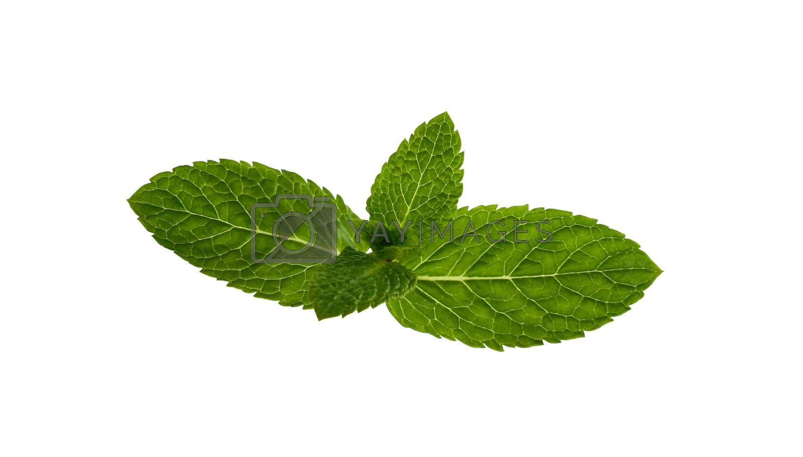 Close up one fresh green mint veaves branch isolated on white background, elevated top view, directly above