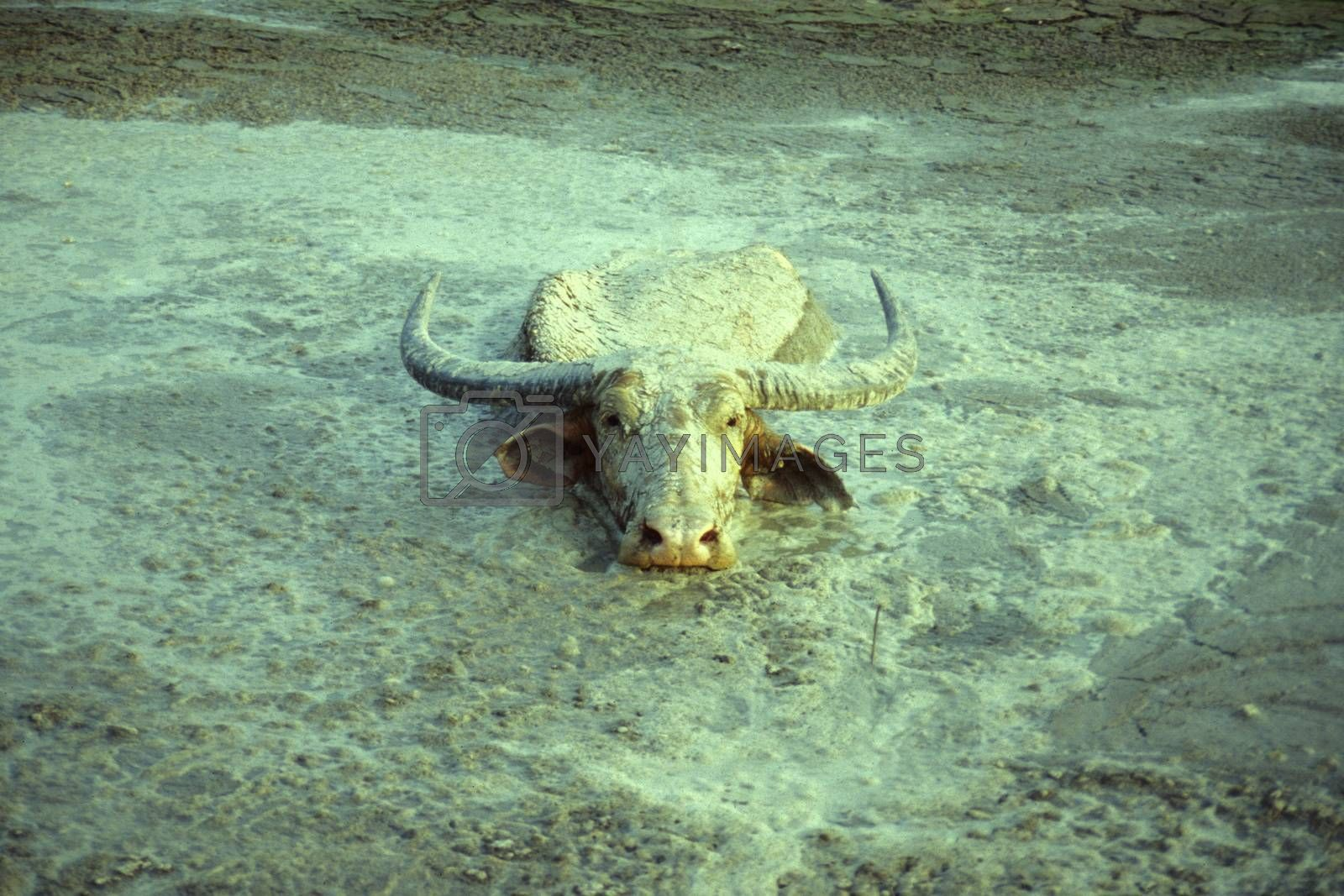 a buffalo at the Town of Phonsavan in the Province Xieng Khunag in Lao in the north of Lao.   Lao, Phonsavan, July, 1996