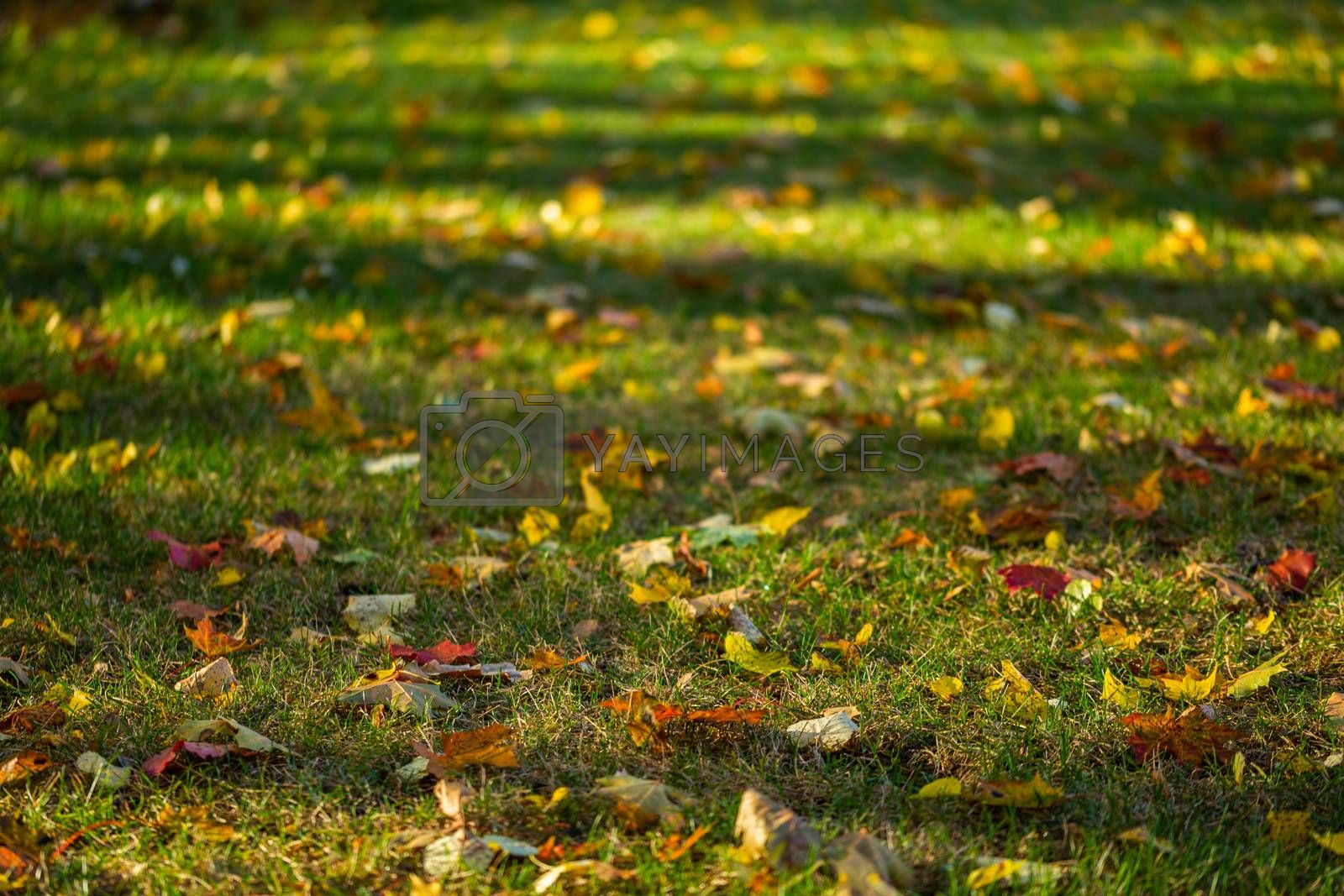 autumn maple leaves on green grass background with selective focus