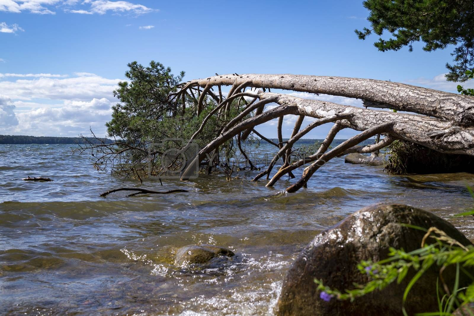 Large tree fallen into the sea during a storm lying supported on the branches above the water in a low angle view from the beach against a sunny blue sky