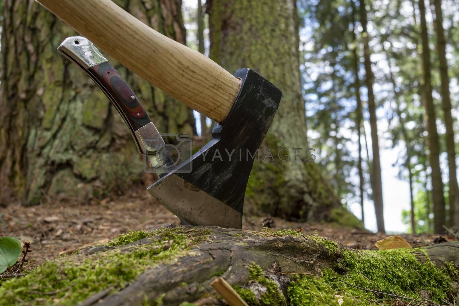 Axe or chopper with folding pocket knife with their blades stuck in a moss covered log of wood in a forest in a close up side view