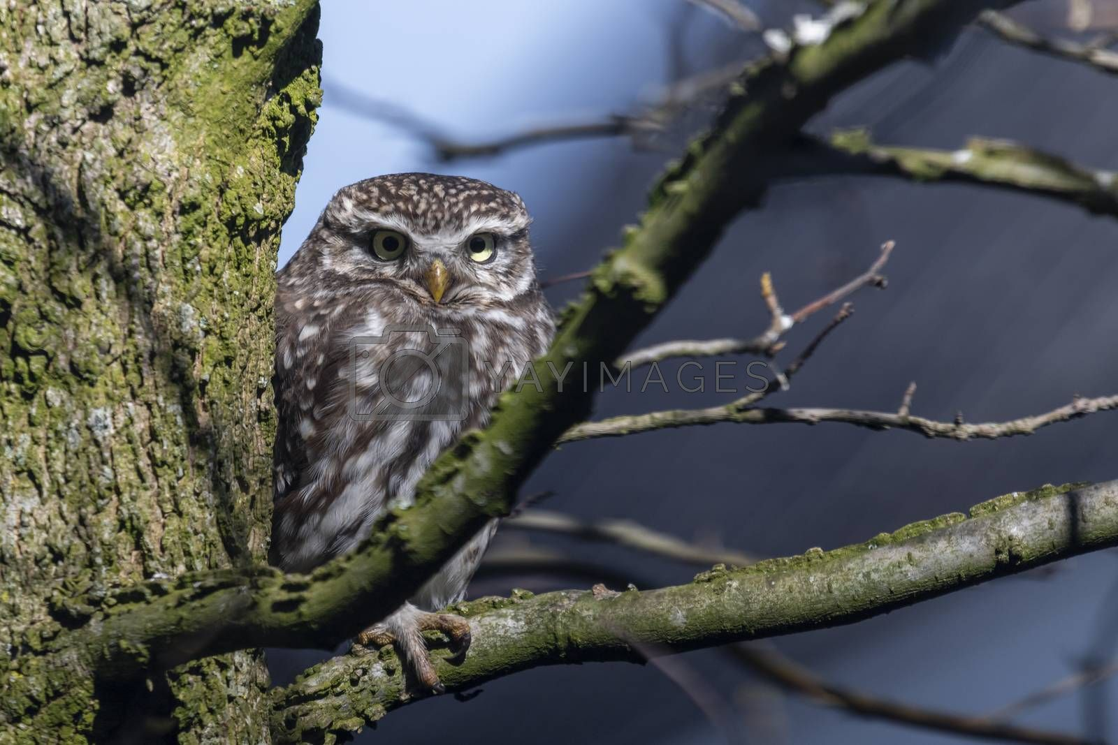 Little owl in a garden tree in the early spring in the Netherlands