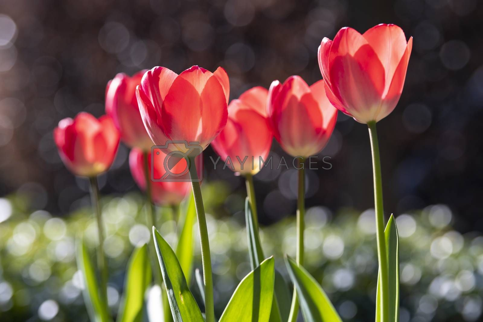 Red tulips with bokeh from drops on green leaves