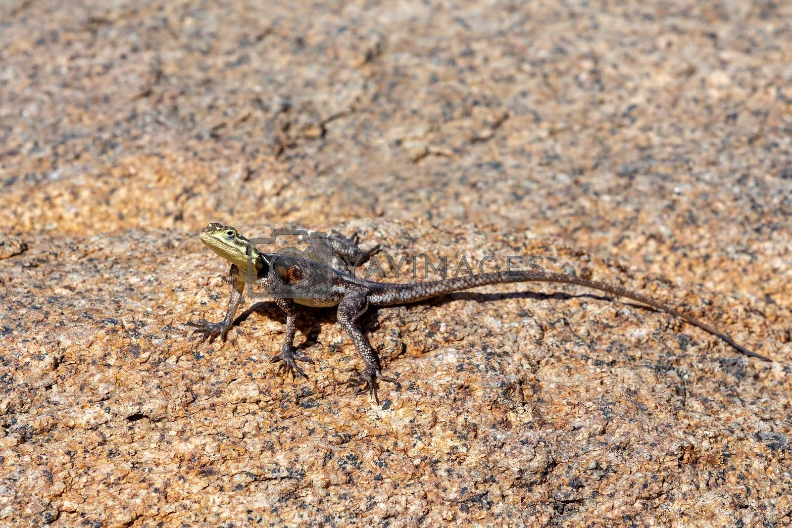 Namib rock agama, Agama planiceps, is heating up in the sun in the white lady brandberg Mountains, Namibia Africa wildlife