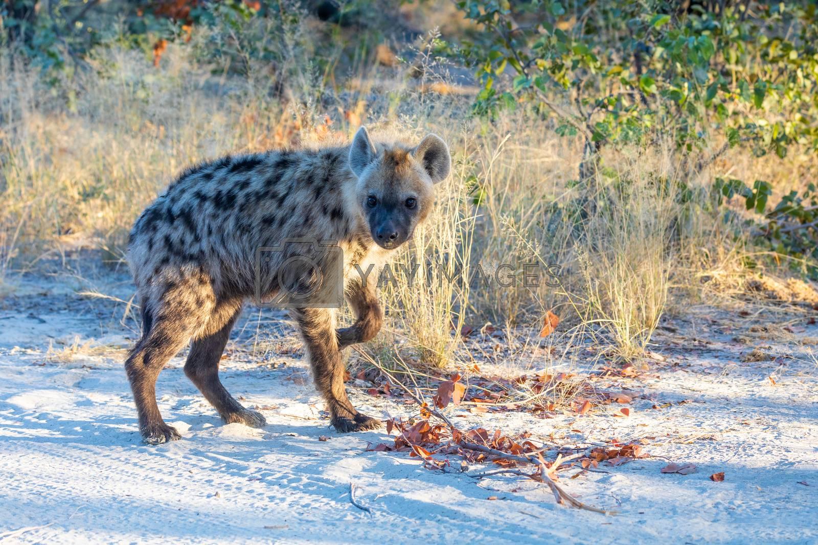 cute baby of Spotted hyena (Hyaena hyaena) in natural habitat moremi game reserve. Botswana Africa safari wildlife