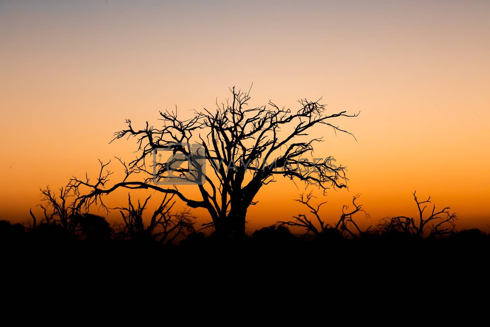 idyllic calm sunset with tree silhouette in front, Moremi Game reserve, Okavango Delta, Africa wilderness