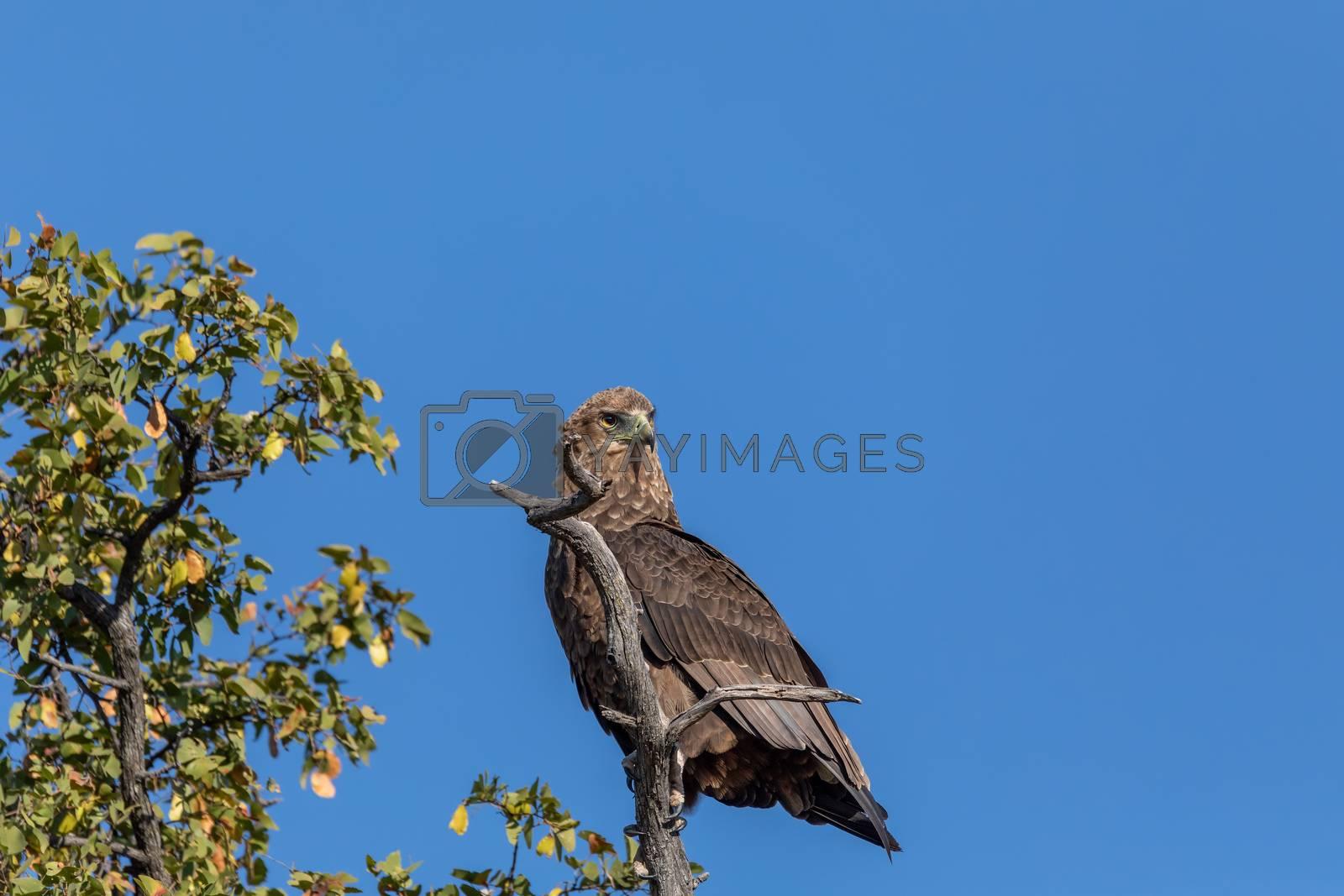 majestic tawny eagle (Aquila rapax), large bird of prey in natural habitat, Moremi game reserve, Botswana Africa safari wildlife