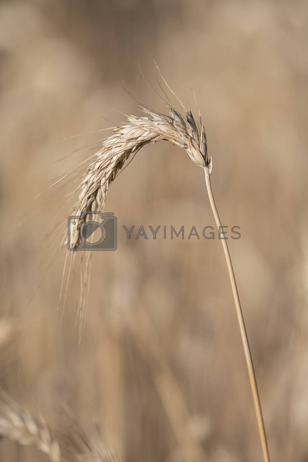 Royalty free image of Detail of a single stalk corn  by Tofotografie