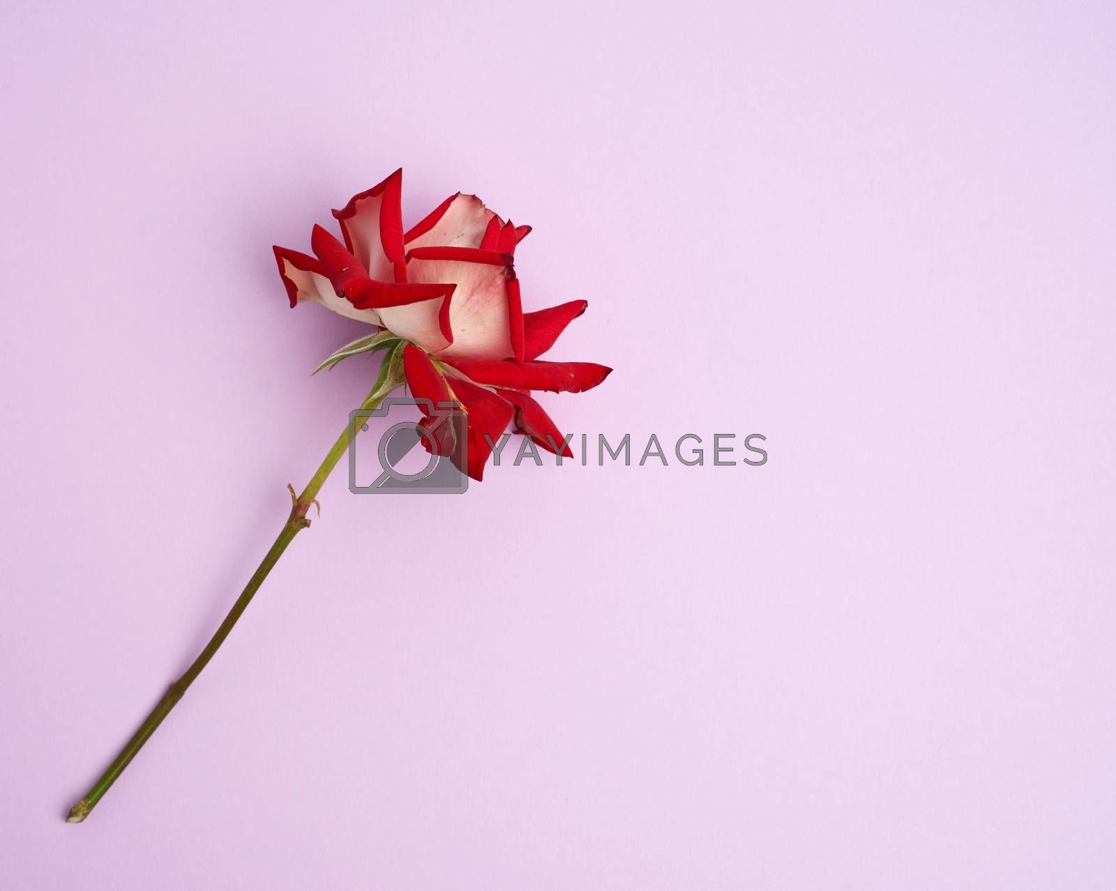 blooming red rose with green leaves on a purple background by ndanko