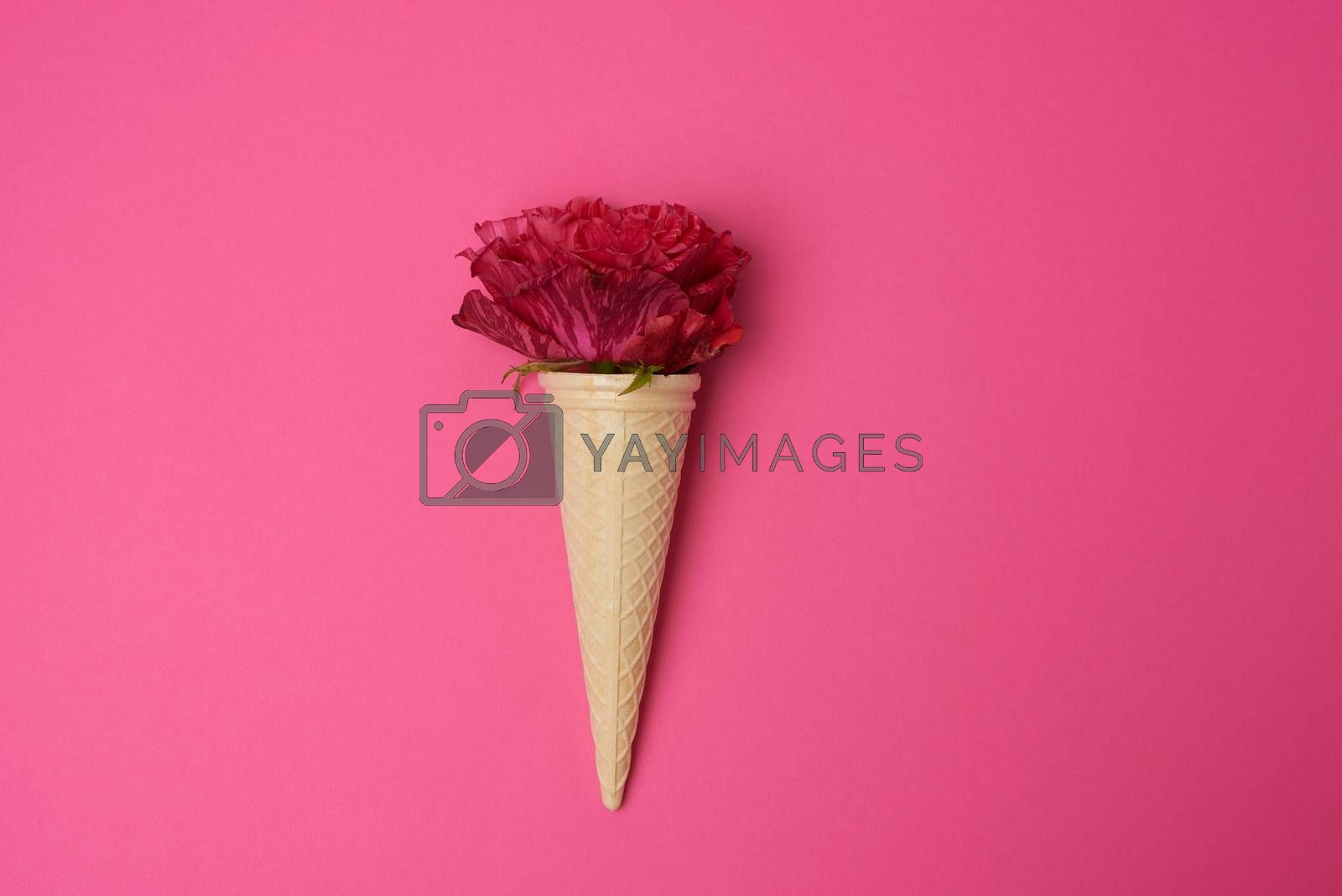 blooming red rose in a waffle cone on a pink background by ndanko