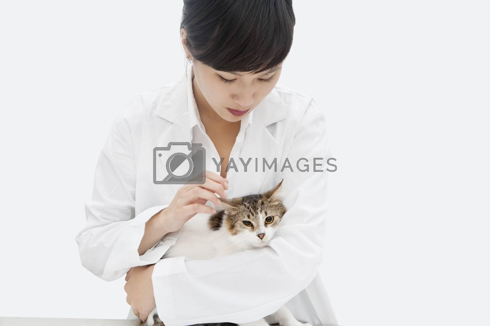 Female veterinarian holding cat against gray background