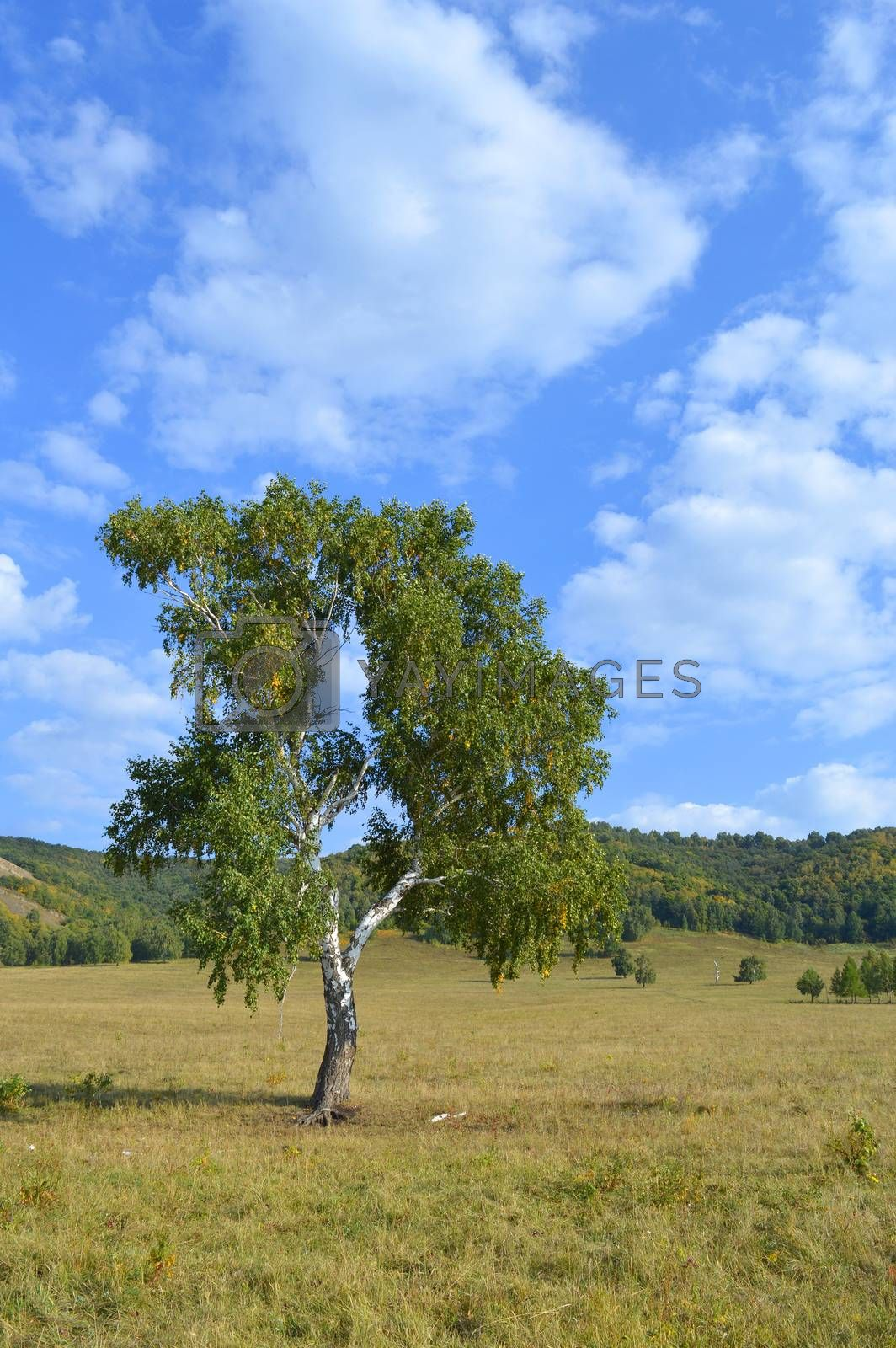 birch on a background of mountain forests