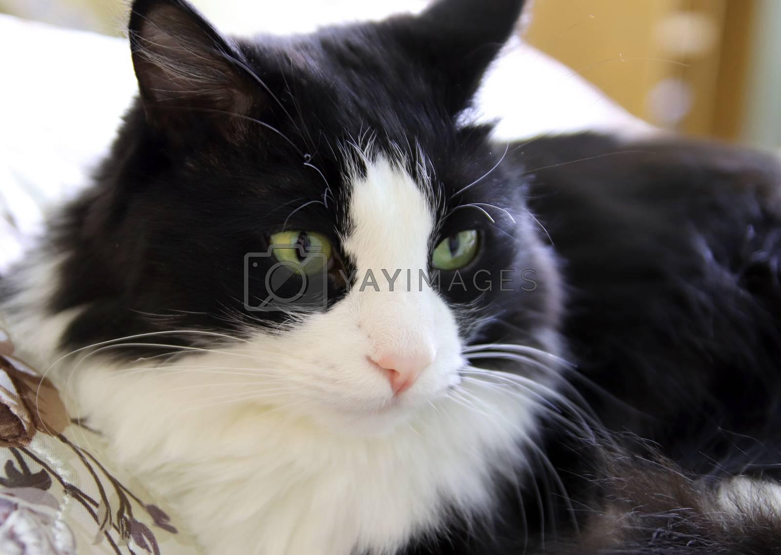 beautiful black and white cat, shallow dof