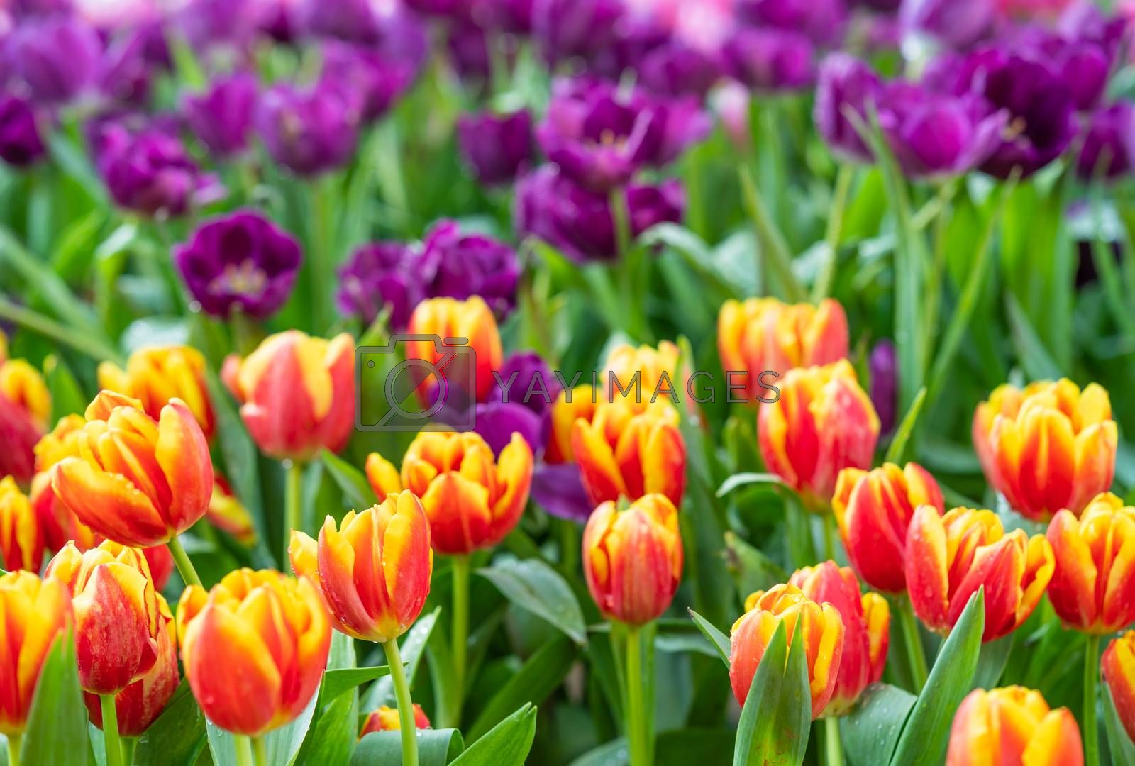 Red and purple tulips  by stoonn