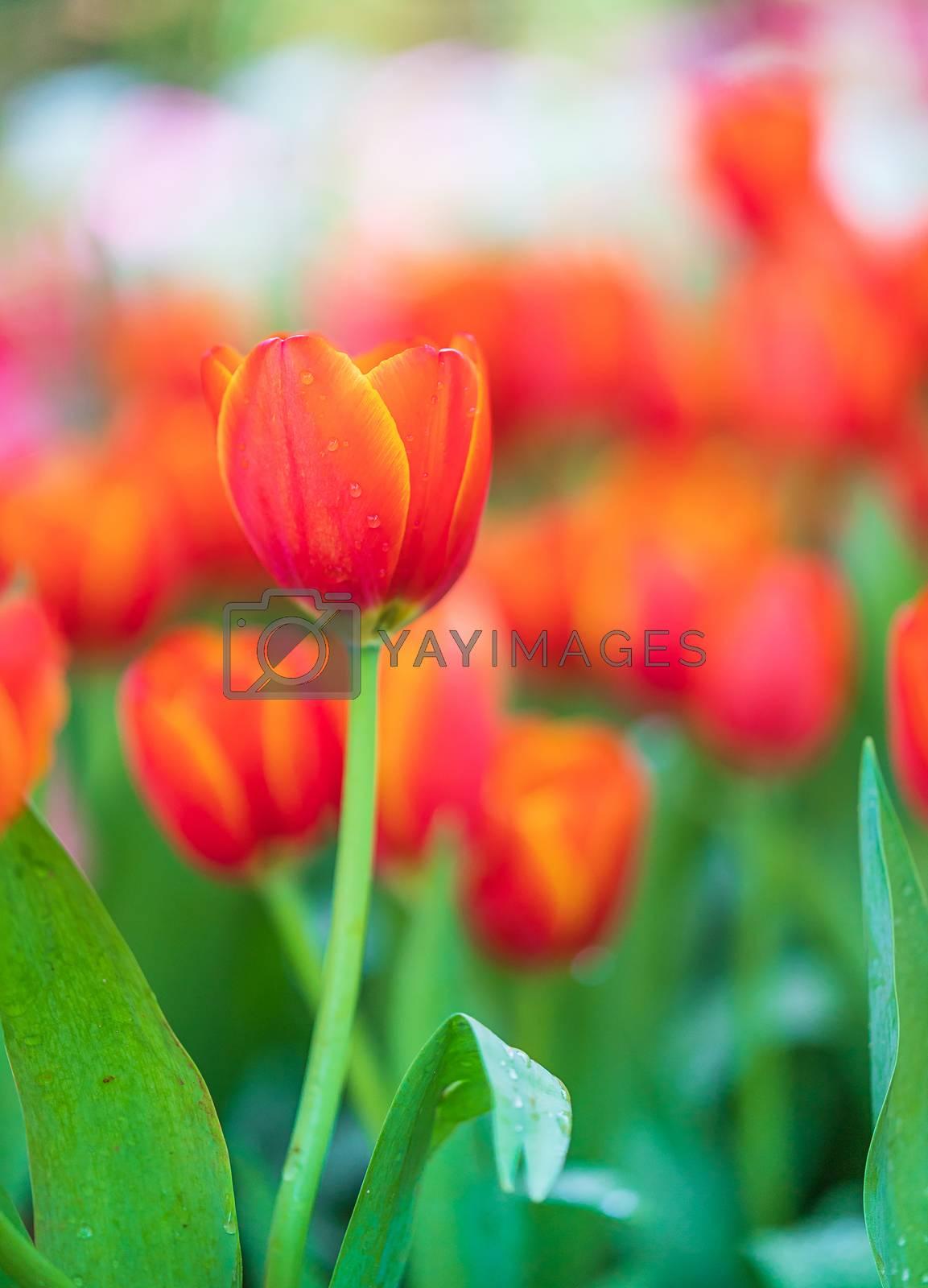 Red tulips in garden by stoonn