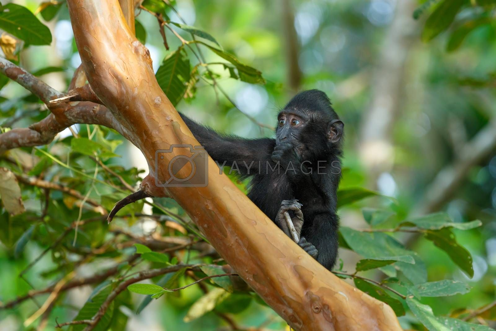 cute baby of endemic monkey Celebes crested macaque known as black monkey (Macaca nigra) in rainforest, Tangkoko Nature Reserve in North Sulawesi, Indonesia wildlife