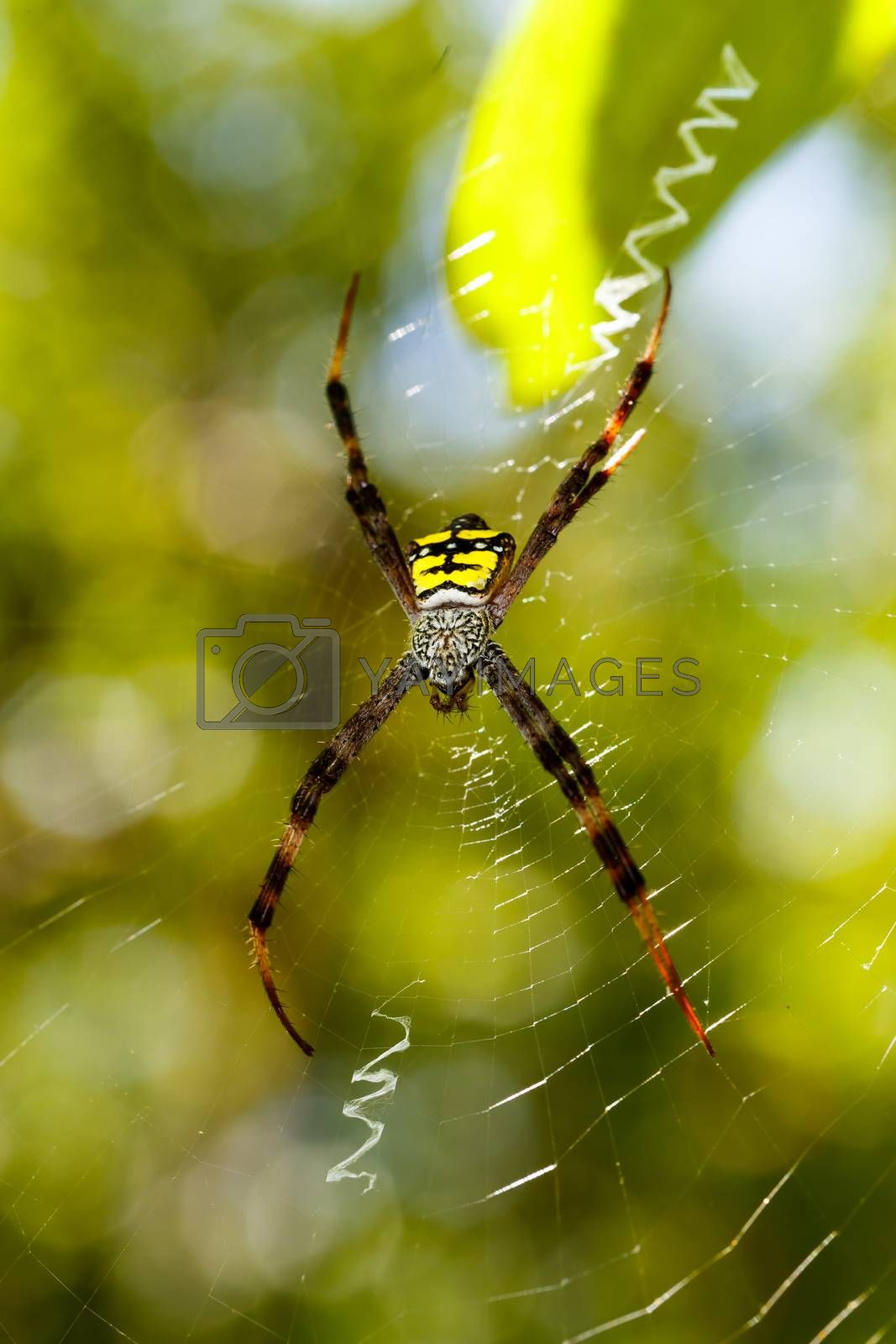 Argiope aemula is a species of spider in the family Araneidae, Tangkoko National Park, North Sulawesi, Indonesia wildlife