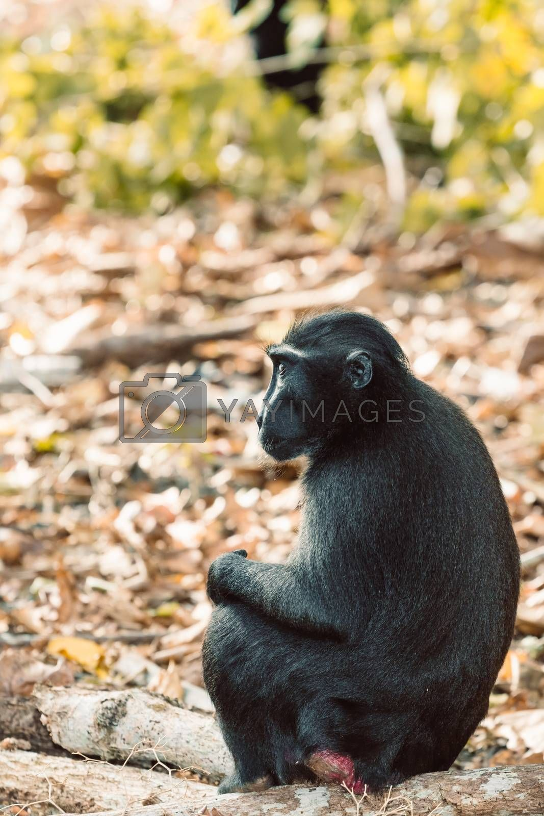 endemic monkey Celebes crested macaque known as black monkey (Macaca nigra) in rainforest, Tangkoko Nature Reserve in North Sulawesi, Indonesia wildlife