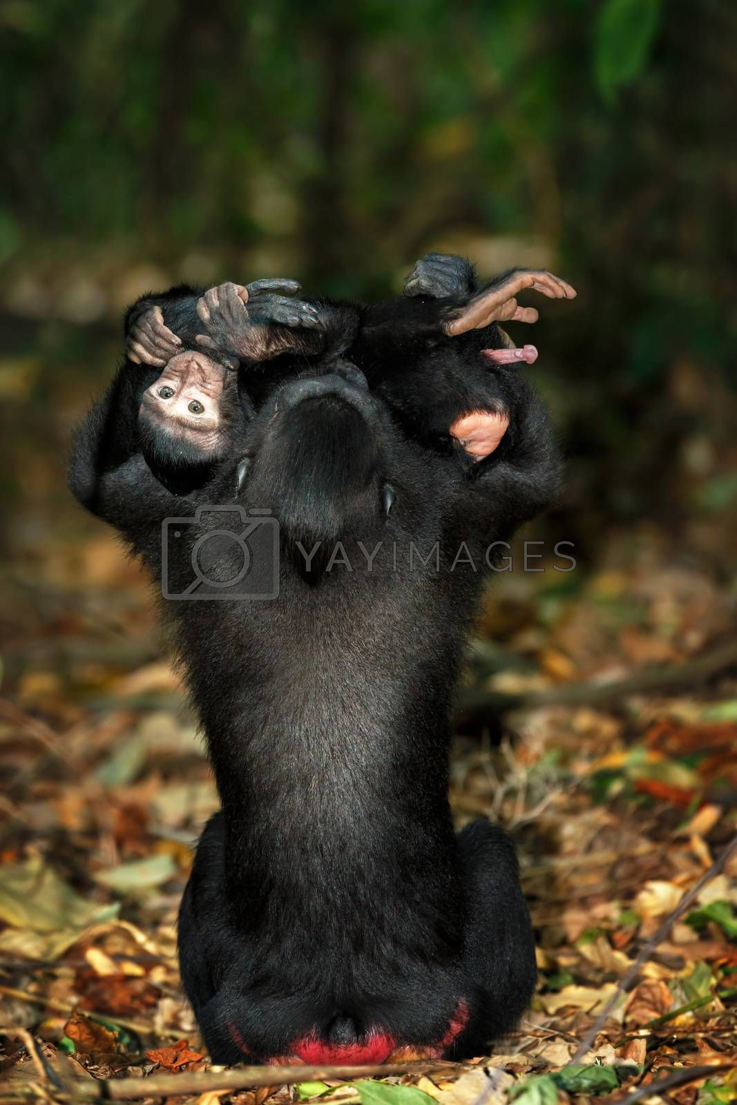 Young baby with mother, endemic monkey Celebes crested macaque known as black monkey (Macaca nigra) in rainforest, Tangkoko Nature Reserve in North Sulawesi, Indonesia wildlife