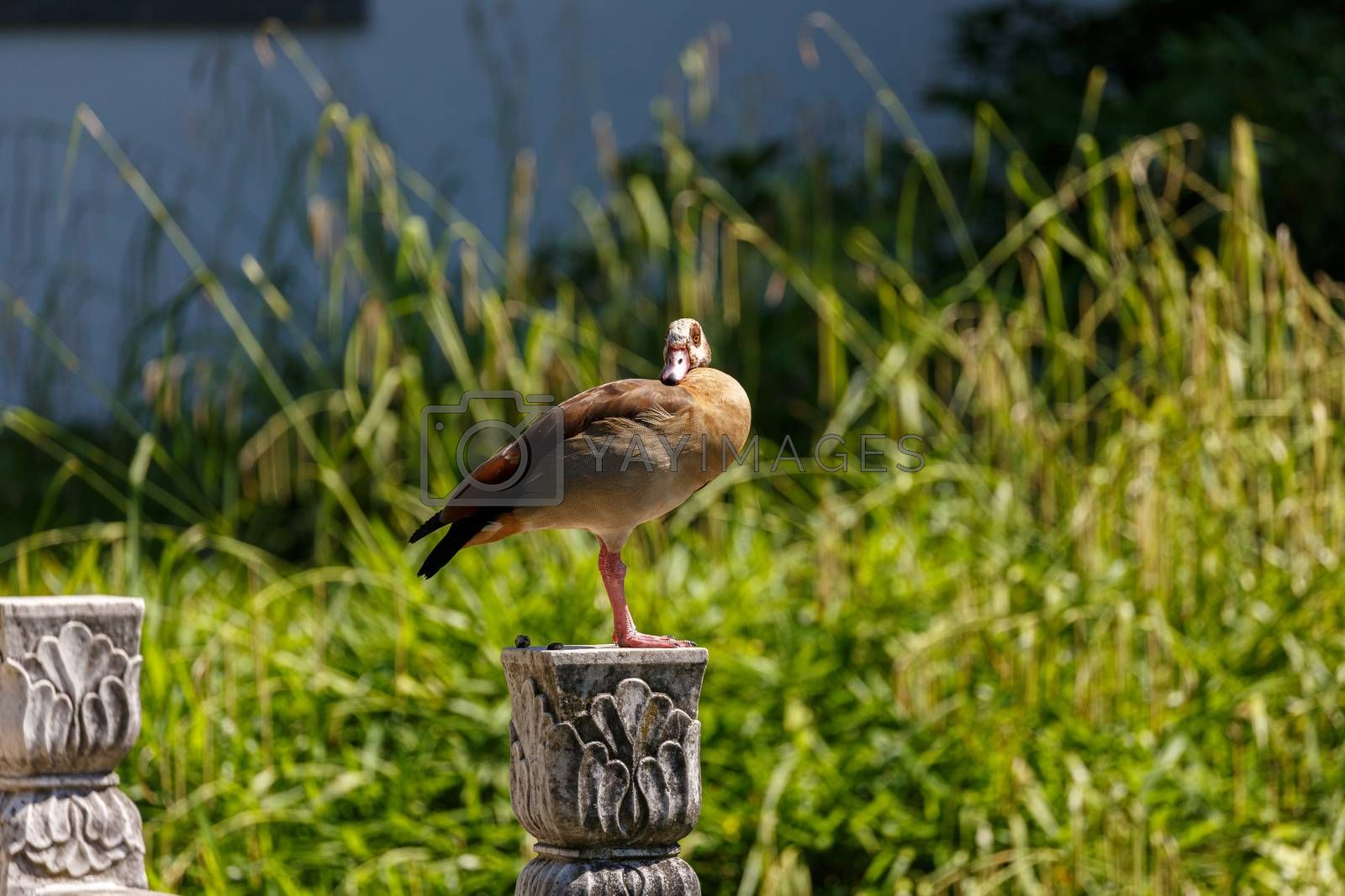 Egyptian goose near to the water