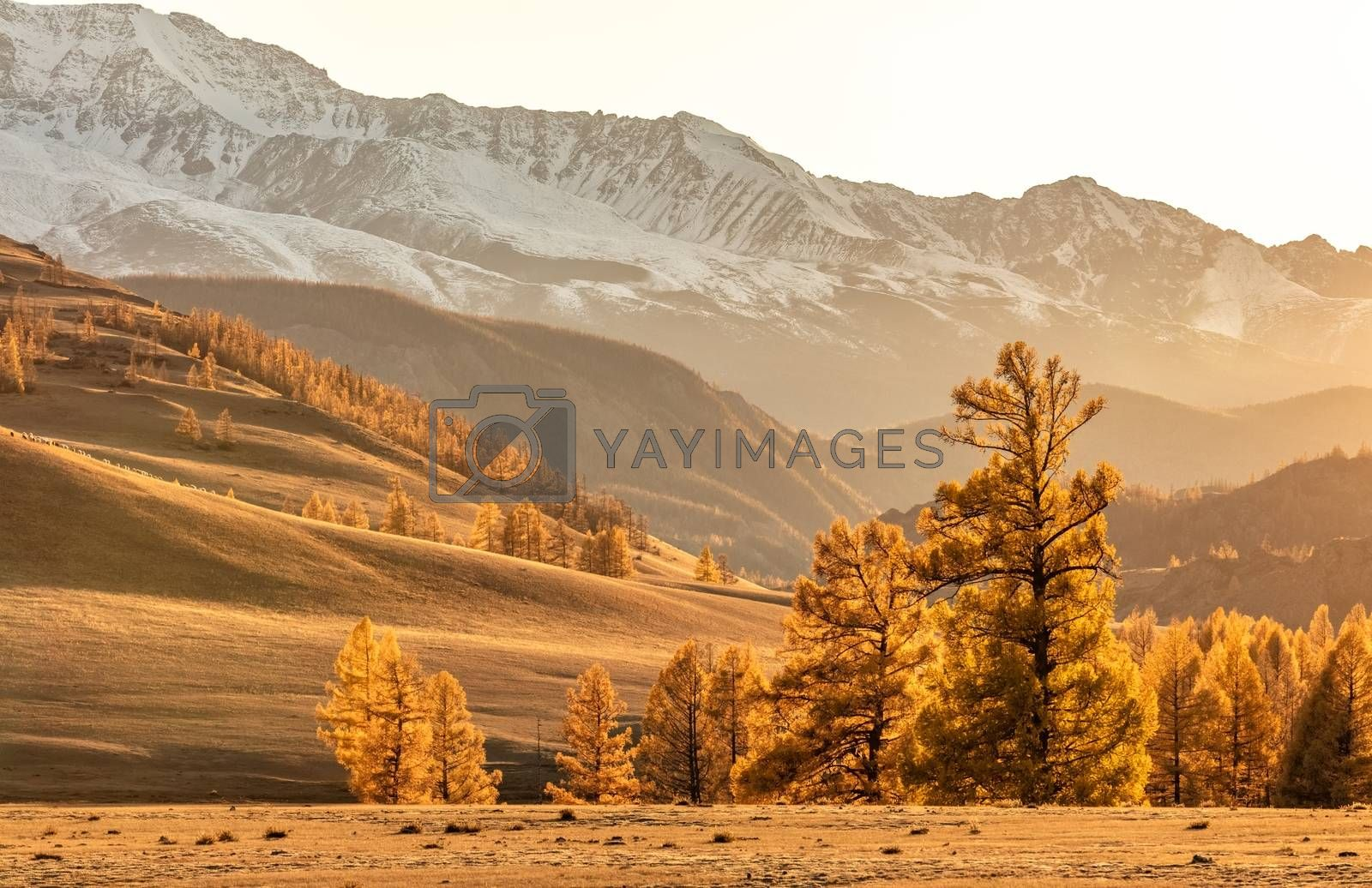 View of a beautiful valley at sunset with amazing golden color everywhere in Altai mountains, Russia. Fall 2019
