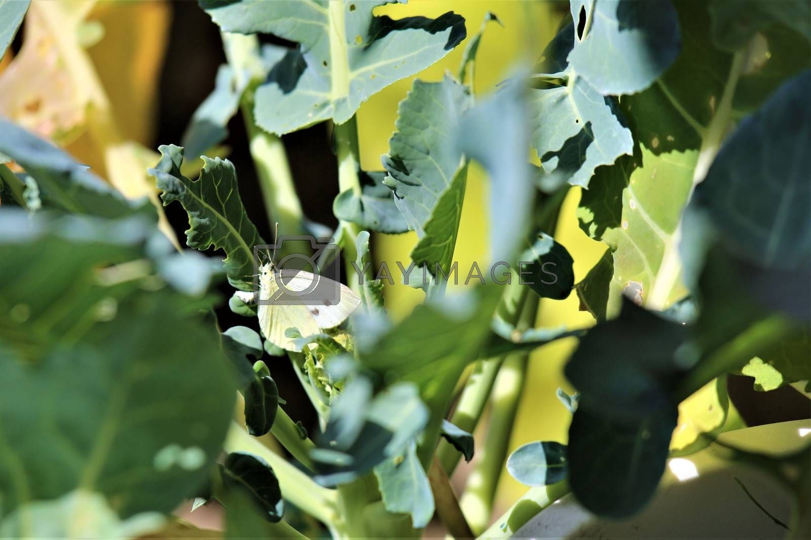 One cabbage white butterfly on a cabbage leaf