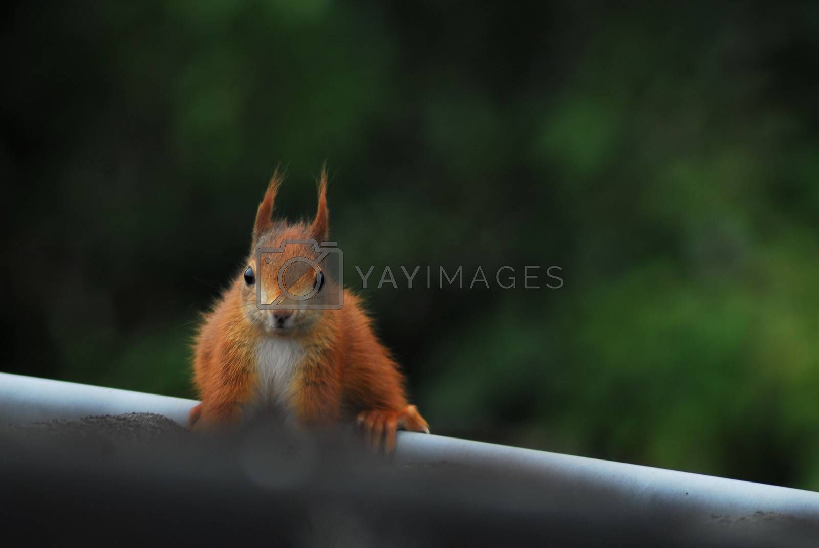 One brown squirrel sits on a roof edge